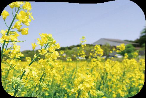菜の花/ひまわり/コスモス